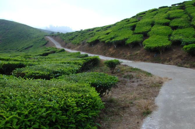dangdiren cameron valley tea plantation kuala terla road