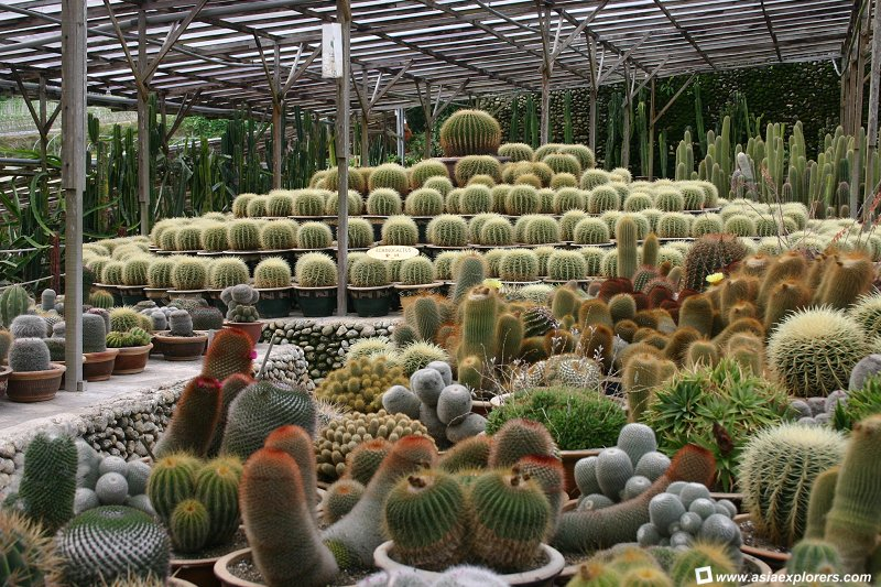 dangdiren-cameron-highlands-brinchang-cactus-valley