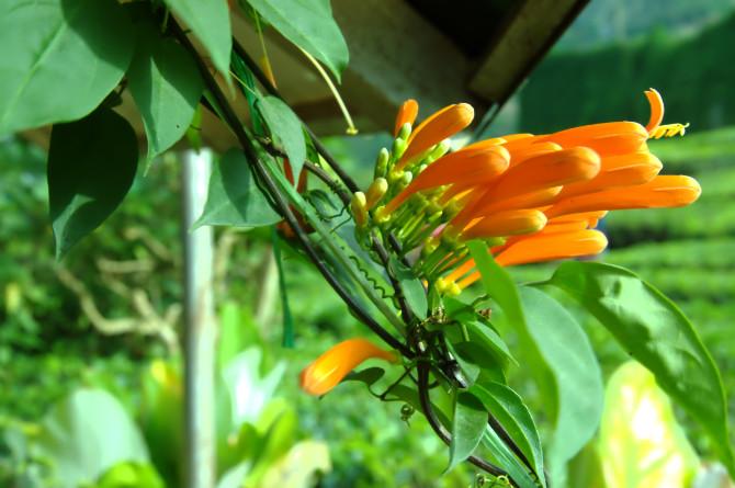 dangdiren cameron valley tea plantation kuala terla flower