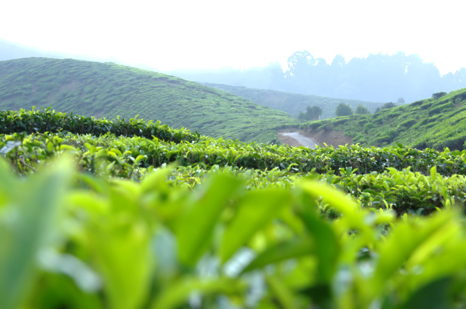 dangdiren cameron valley tea plantation kuala terla view