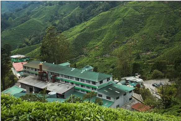 dangdiren habu tea plantation view