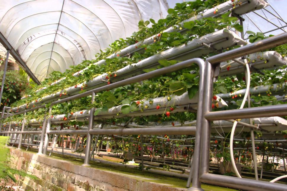 dangdiren-cameron-highlands-brinchang-big-red-strawberry-farm