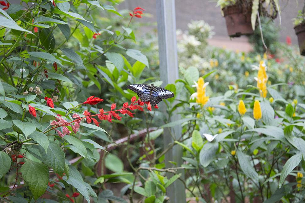 dangdiren-cameron-highlands-kea-farm-butterfly-farm