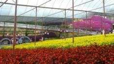 dangdiren-lavendar-garden-view