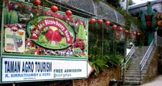 dangdiren-cameron-highlands-brinchang-big-red-strawberry-farm
